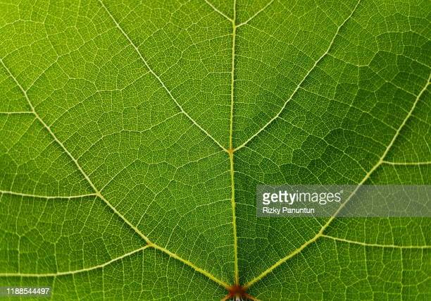 textures of grape green leaves - nature stock pictures, royalty-free photos & images