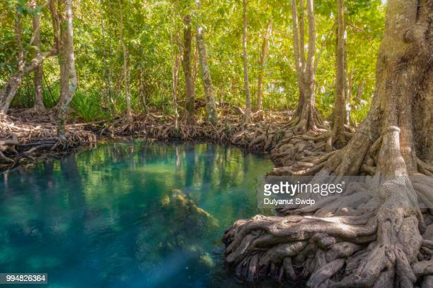 tha pom mangrove forest at krabi province, thailand - mangroves stock pictures, royalty-free photos & images