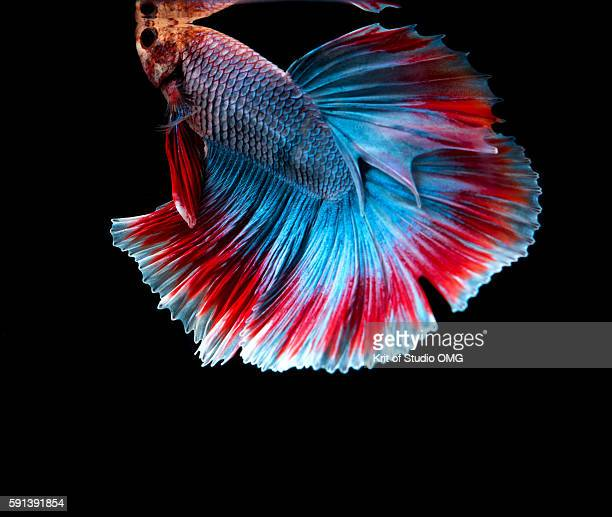 thai betta fish - siamese fighting fish stock pictures, royalty-free photos & images