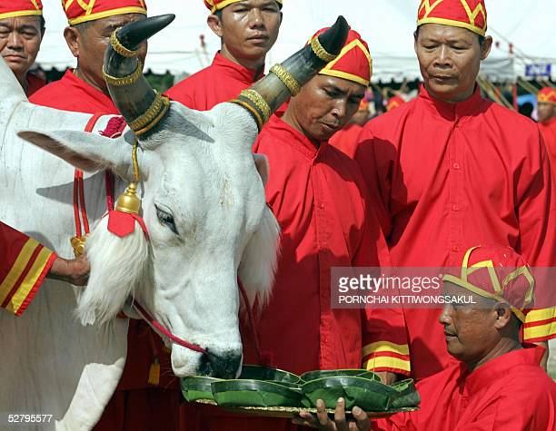 Thai Brahman offer food to a royal ox during the annual royal ploughing ceremony in Bangkok 11 May 2005 The Thai royal soothsayer predicted plenty of...