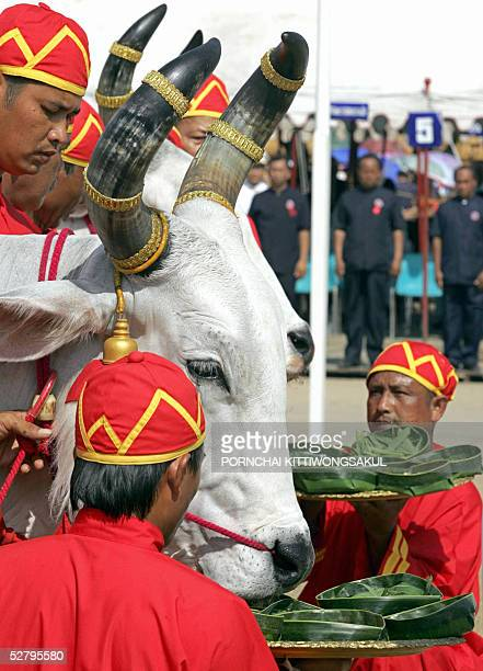Thai Brahman offer food to royal oxen during the annual royal ploughing ceremony in Bangkok 11 May 2005 The Thai royal soothsayer predicted plenty of...