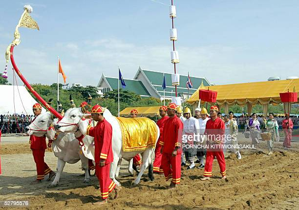 Thai Brahmen plough using oxen during the annual royal ploughing ceremony in Bangkok 11 May 2005 The Thai royal soothsayer predicted plenty of rain...
