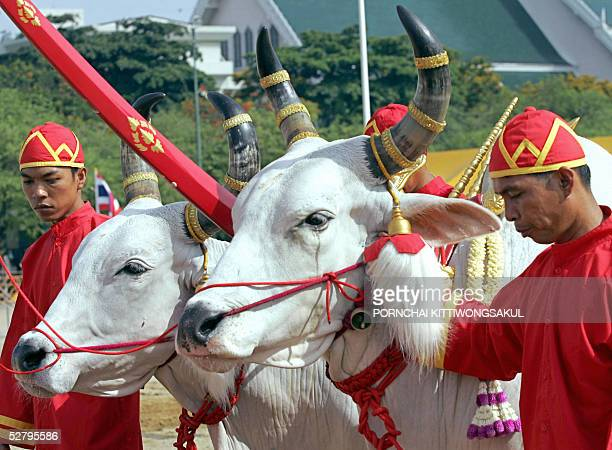 Thai Brahmen plough using royal oxen during the annual royal ploughing ceremony in Bangkok 11 May 2005 The Thai royal soothsayer predicted plenty of...