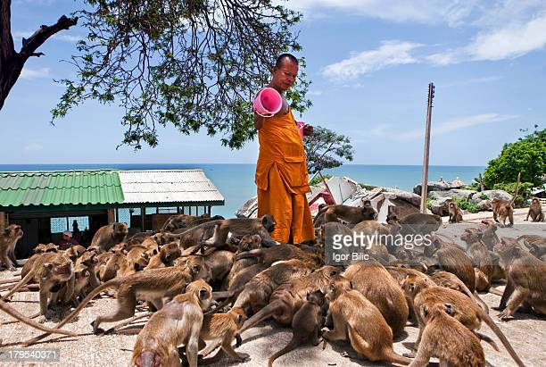 Thai Buddhist monk feeding monkeys at Wat Khao Takiap temple in Hua Hin Thailand Some 6 kilometers from Hua Hin centre in the popular area called...