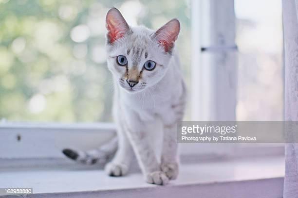 Thai cat at window