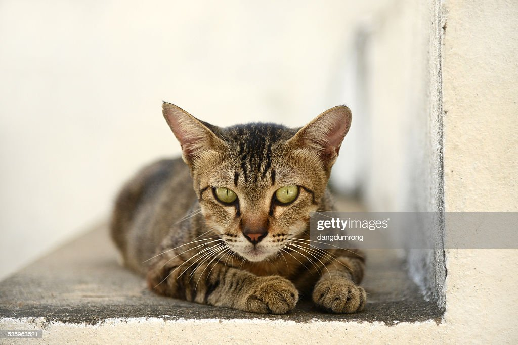 Thai Cat looking to camera : Stock Photo