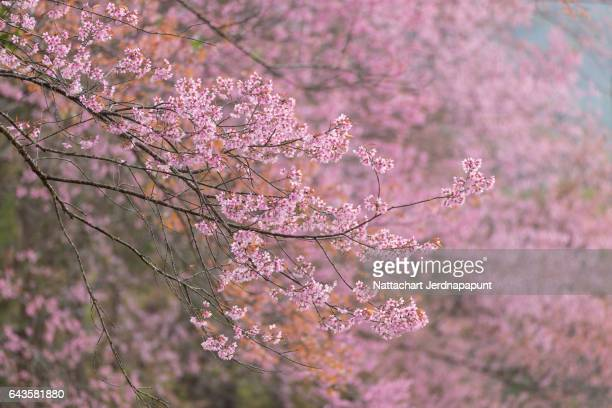 Thai Cherry blossom blooming in Chiang mai