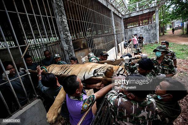 Thai DNP officers carry a sedated tiger out of its cage at the Wat Pha Luang Ta Bua Tiger Temple on June 1, 2016 in Kanchanaburi province, Thailand....