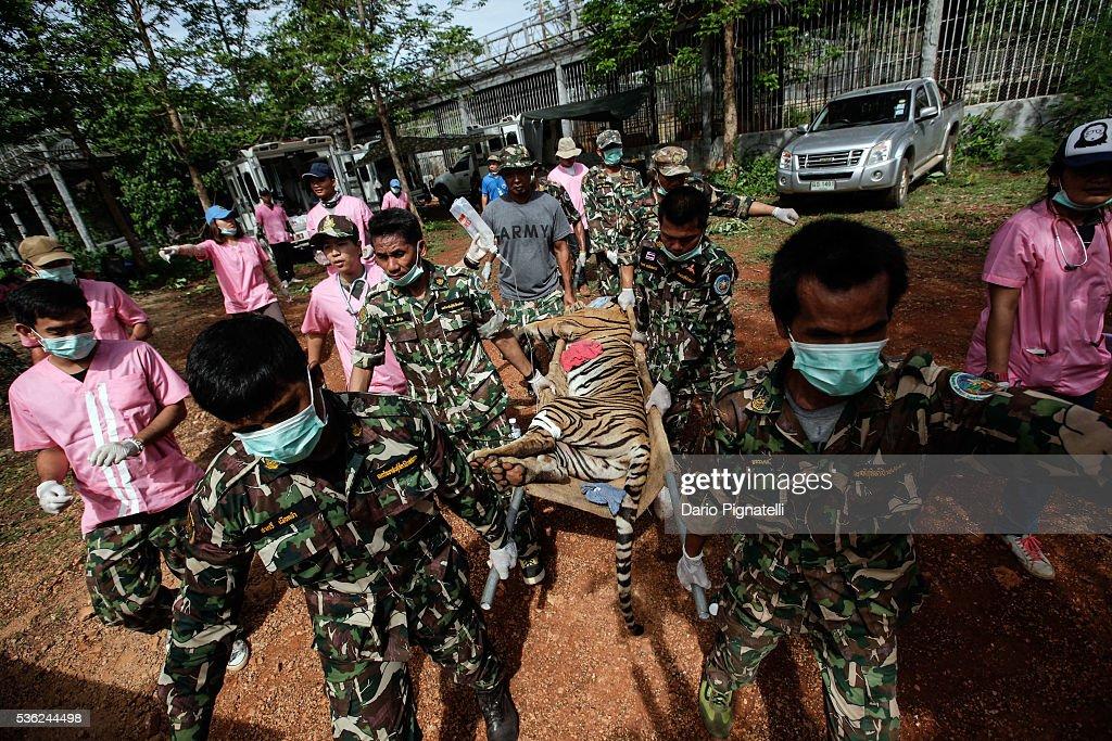 "Wildlife Authorities Raid Thailand's Controversial ""Tiger Temple"" : News Photo"