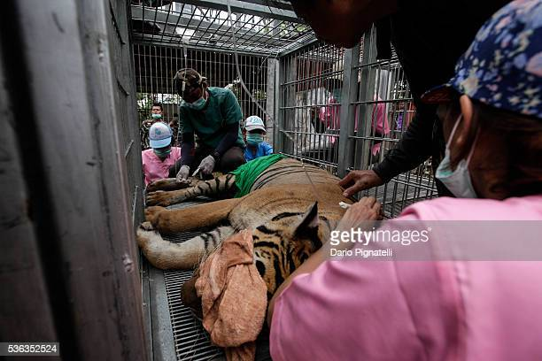 Thai DNP officers carry a sedated work to carry a sedated tiger from its cage at the Wat Pha Luang Ta Bua Tiger Temple on June 1 2016 in Kanchanaburi...