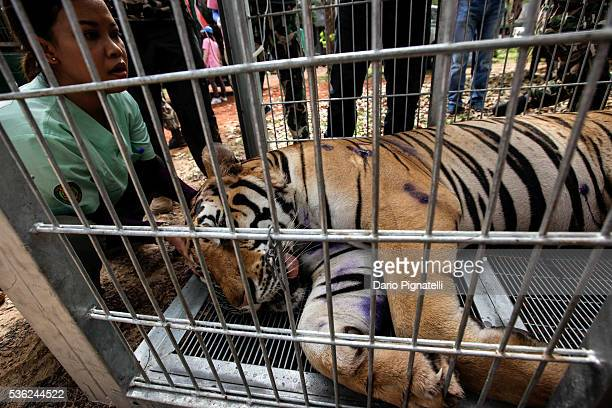 Thai DNP veterinarian officer assists a sedated tiger at the Wat Pha Luang Ta Bua Tiger Temple on June 1 in Kanchanaburi province, Thailand. Wildlife...