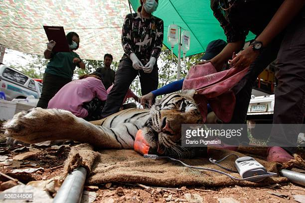Thai DNP veterinarian officers tend to a sedated tiger at the Wat Pha Luang Ta Bua Tiger Temple on June 1, 2016 in Kanchanaburi province, Thailand....