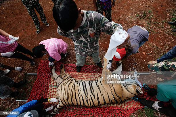 Thai DNP veterinarian officers tend to a sedated tiger at the Wat Pha Luang Ta Bua Tiger Temple on June 1 in Kanchanaburi province, Thailand....