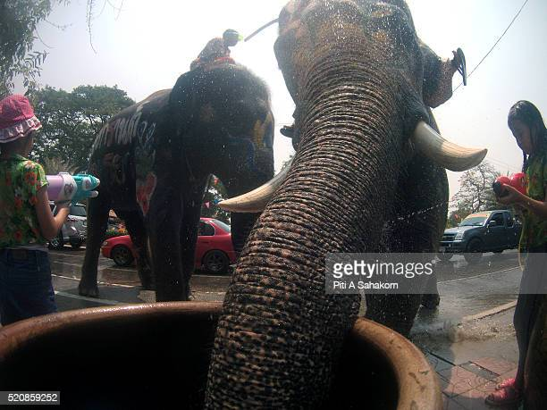 Thai elephant draining water from big water jar to celebrate Songkran festival 2016 in Ayutthaya