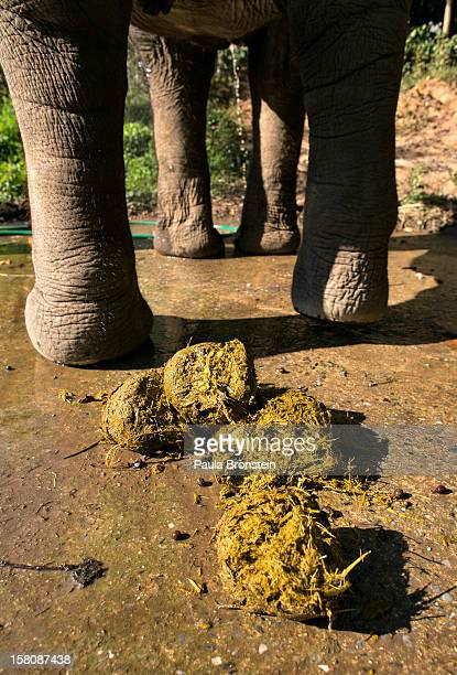 Thai elephant is seen alongside dung filled with coffee beans at an elephant camp at the Anantara Golden Triangle resort on December 10 2012 in...