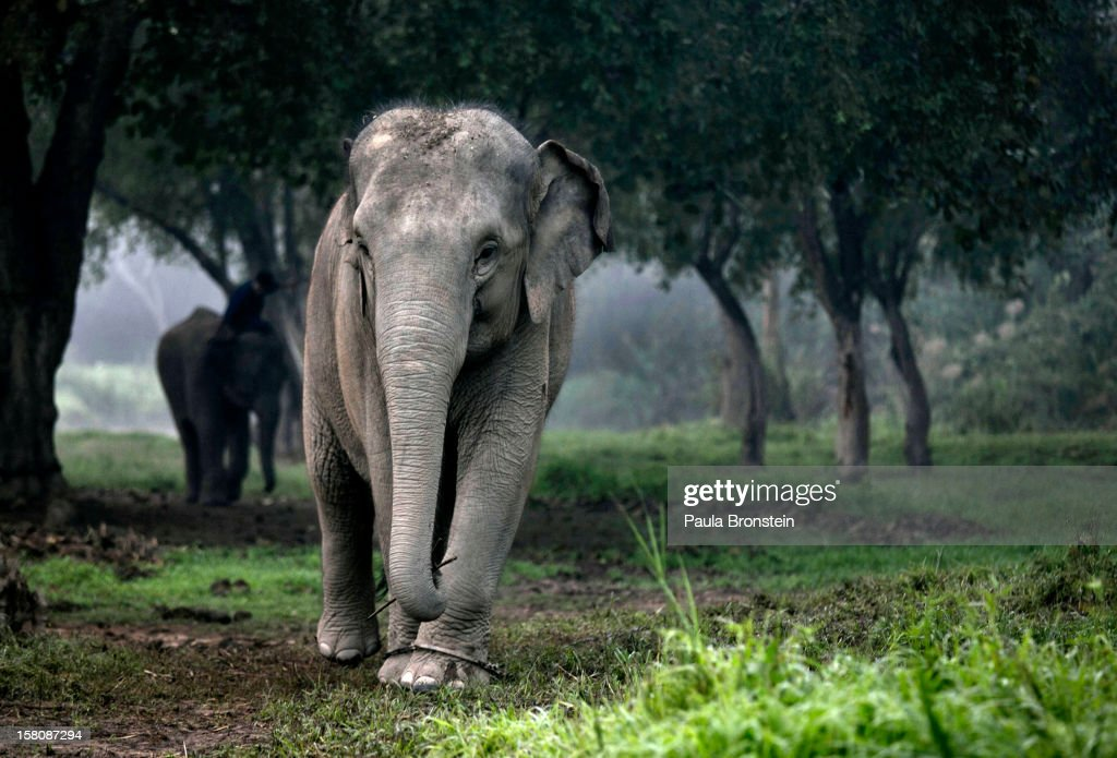 A Thai elephant walks in the jungle in the early morning fog at an elephant camp at the Anantara Golden Triangle resort on December 9, 2012 in Golden Triangle, northern Thailand. Black Ivory Coffee, started by Canadian coffee expert Blake Dinkin, is made from Thai arabica hand picked beans. The coffee is created from a process whereby coffee beans are naturally refined by a Thai elephant. It takes about 15-30 hours for the elephant to digest the beans, and later they are plucked from their dung and washed and roasted. Approximately 10,000 beans are picked to produce 1kg of roasted coffee. At USD 1,100 per kilogram or USD 500 per pound, the cost per serving of the elephant coffee equals USD 50, making the exotic new brew the world's priciest. It takes 33 kilograms of raw coffee cherries to produce 1 kilo of Black Ivory Coffee.