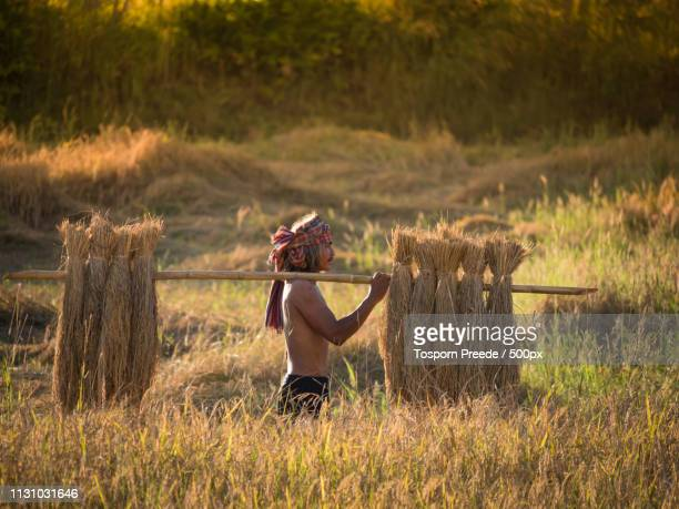 thai farmer carrying the rice on shoulder after harvest - asian farmer ストックフォトと画像