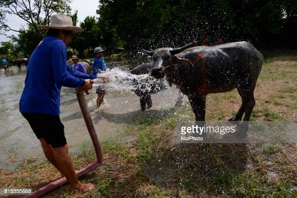 A Thai farmer water buffalo cool off from the heat his buffalo before a Water Buffalo Racing Festival in Chonburi Province Thailand July 16 2017