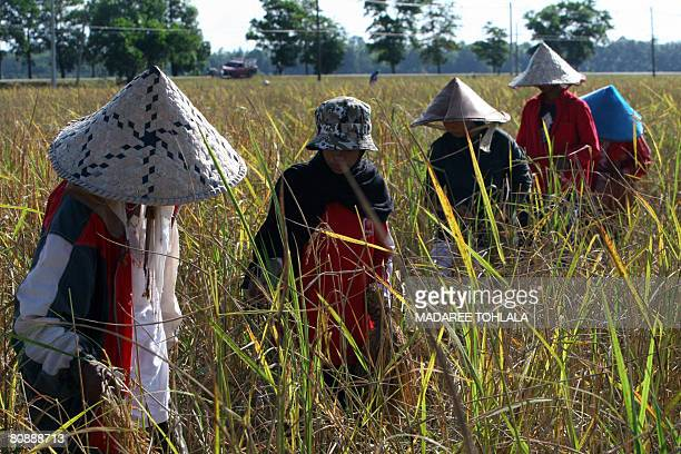 Thai farmers harvest rice in a field in Thailand's troubled southern Narathiwat province on April 26 2008 Thailand commerce minister Mingkwan...