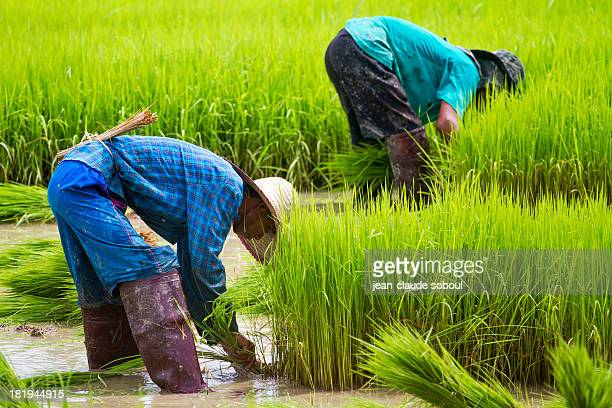 Thai farmers in the rice fields in the province of chiang rai