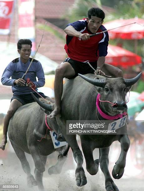 Thai farmers ride on their buffalos during the annual buffalo race in Chonburi province east of Bangkok 17 October 2005 The buffalo races are an...
