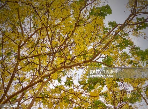 thai golden flowers or cassia fistula. - fistel stockfoto's en -beelden