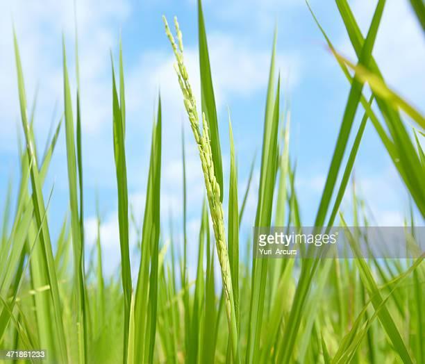 tailandese riso hom mali - filo d'erba foto e immagini stock
