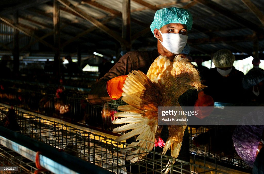 Thai military carry chickens to be stuffed in fertilizer bags, then buried alive January 26, 2004 in Song Phi Nong, Thailand . Bird Flu has ravaged poultry farms and could devastate the country's chicken export sector which is the world's fourth largest worth 1.5 billion dollars. The Bird Flu (also called Avian Flu) has claimed six victims in Vietnam and one in Thailand. Thailand's prime minister denied accusations that his government had tried to cover up an outbreak of virus.