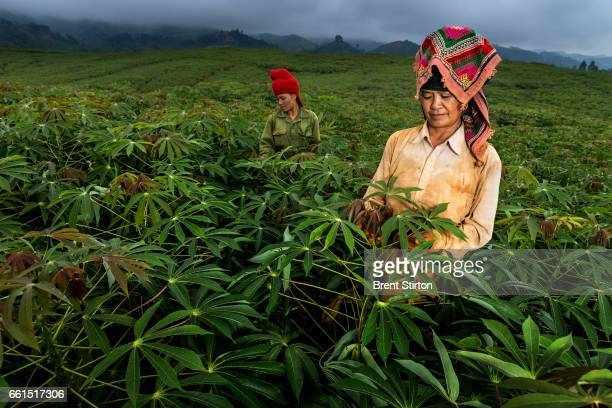 Thai minority women move amongst Cassava crops that fill the hills close to Son La city