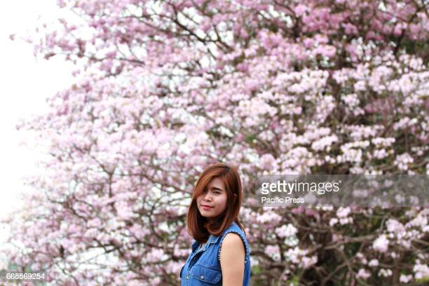 Thai people look at the beautiful Pink trumpet trees for holiday at Chatuchak Park Bangkok instead of heading to Tokyo or Seoul to witness the famous...