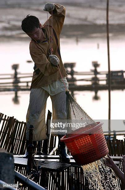 Thai shrimp pond workers lift a basket of freshly harvested Penaeus Vannamei on the Thammachat Farm Siam Natural Resources Co Ltd in Laem Ngop Trat...