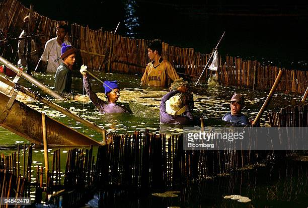 Thai shrimp pond workers seal a basket of freshly harvested Penaeus Vannamei on the Thammachat Farm Siam Natural Resources Co Ltd in Laem Ngop Trat...