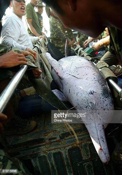 Thai soldiers carry an Indo-Pacific humpback dolphin to the ocean for release after they rescued it from a lake left behind by last week's killer...