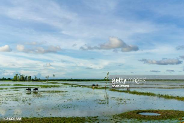 Thai swamp buffalo at Thale Noi in Phatthalung province, Thailand.