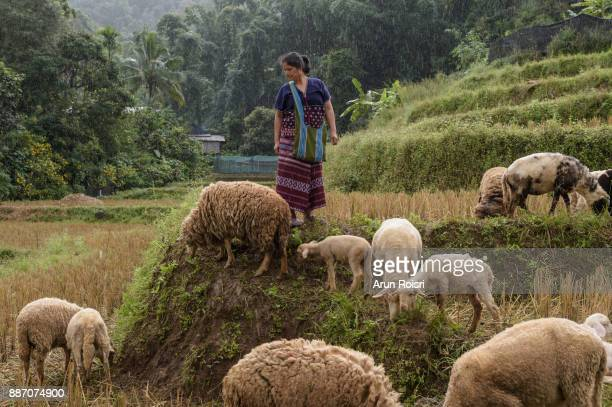 Thai Tribe farmer with her sheeps in the Sacred Valley, Mae Hong Son, Thailand
