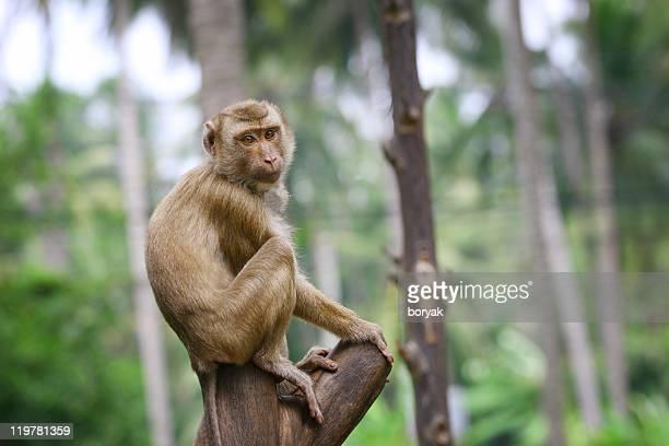 Thailändische wild monkey