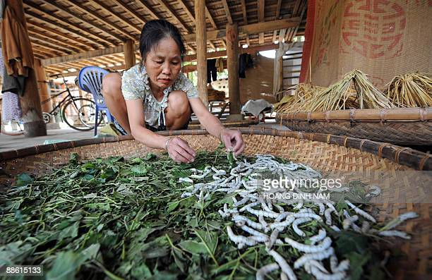 A Thai woman tends to silk worms at her home in a village of the Mai Chau district in the northern Vietnamese province of Hoa Binh on May 4 2009 Thai...