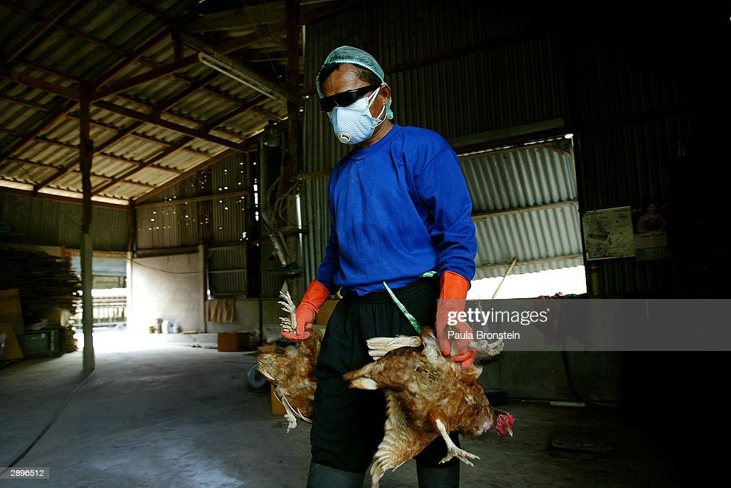 A Thai worker gathers chickens to be culled as another chicken farm is cleared and cleaned in Suphan Buri province January 24, 2004 in Suphan Buri, Thailand, where an outbreak of Bird Flu has ravaged poultry farms. The Bird Flu (also called Avian Flu) has claimed six victims in Vietnam and one in Thailand. The virus has caused sales of chickens to plummet with the European Union and Japan banning the importation of Thai chicken. The World Health oraganization (W.H.O.) said there was no evidence of person-to-person spread of the virus. Thailand's prime minister on Saturday denied accusations that his government had tried to cover up an outbreak of virus.
