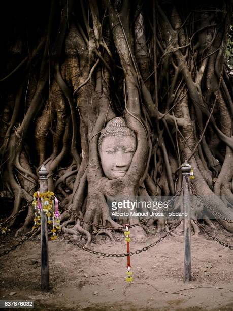 thailand, ayutthaya, head of buddha - banyan tree stock pictures, royalty-free photos & images