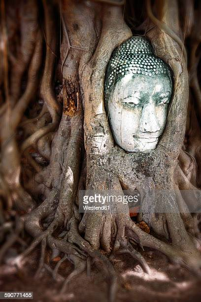 thailand, ayutthaya, head of sandstone buddha between tree roots at wat mahathat - between stock pictures, royalty-free photos & images