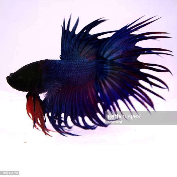 Thailand beta fish