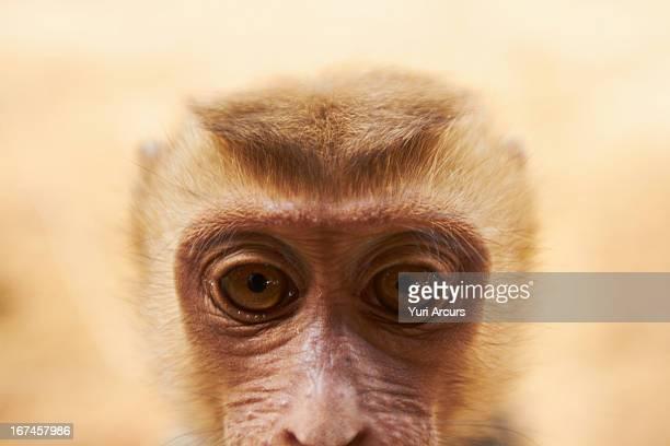 Thailand, Close-up portrait of macaque monkey