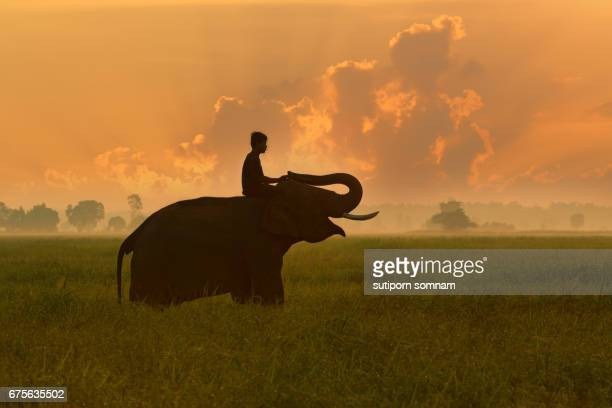 Thailand Elephant on rice field sunrise and Mahout relaxing