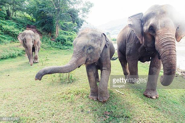 thailand elephants roaming free in chiang mai - chiang mai province stock photos and pictures