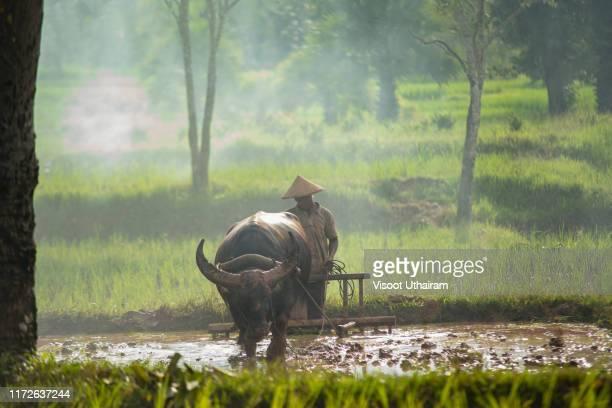 thailand farmer with buffalo - parto natural imagens e fotografias de stock