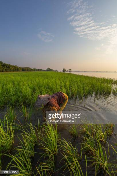 Thailand farmers rice planting working