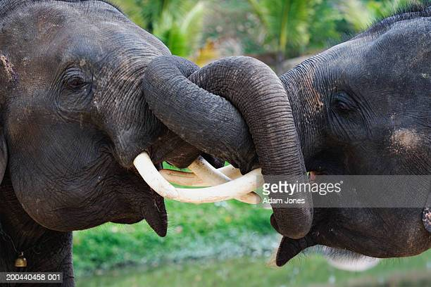 Thailand, Lampang, two Indian elephants roughhousing, side view