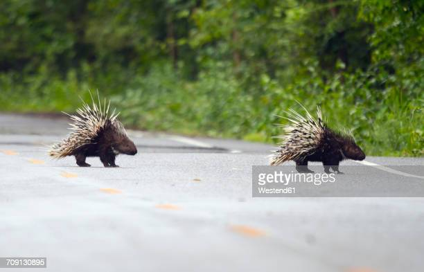 thailand, petchaburi province, two malayan porcupines crossing street - porcupine stock photos and pictures