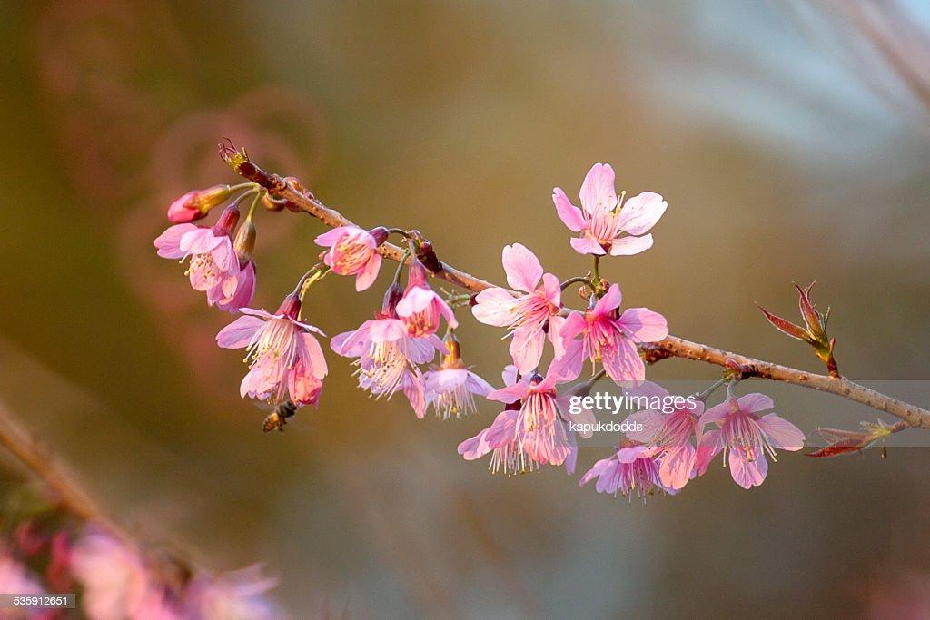 Sakura Rosa Flor na Tailândia ChiangMai, Tailândia : Foto de stock