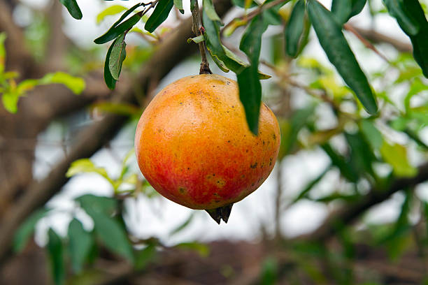 thailand, pomegranate at tree - pomegranate tree stock photos and pictures